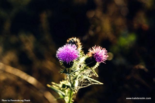 1-Thistle flowers Freestocks.org-Pexels